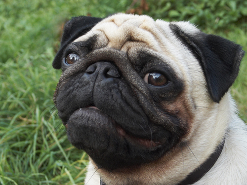 Which of these is NOT a color of Pugs?