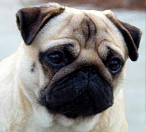 What was the original purpose for which Pugs were bred?
