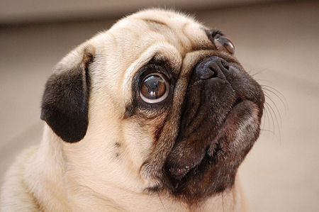 There are four people looking at a Pug at a breeder's house. Which is the only one of these that would make a good pug parent?