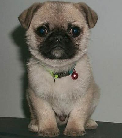 The wrinkles on a Pug's forehead were thought 의해 the Chinese to resemble the character for which word?