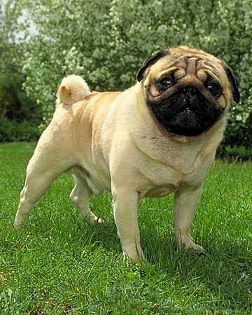 Where did the famous Pug Dog Club of the 1900s begin?