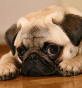 A pug isn't usually a good watchdog.