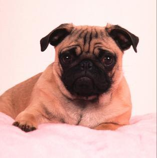 The pug breed came from what type of dog?