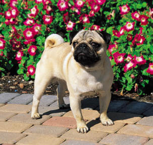 Only two color variations are acceptable in the pug according to the AKC standard - black and fawn, and solid black.