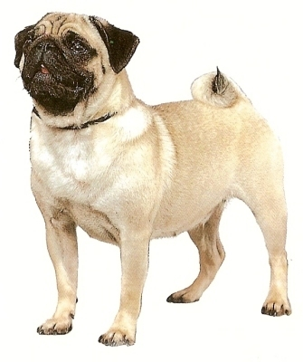 Shortly after which war did pugs first come to America?