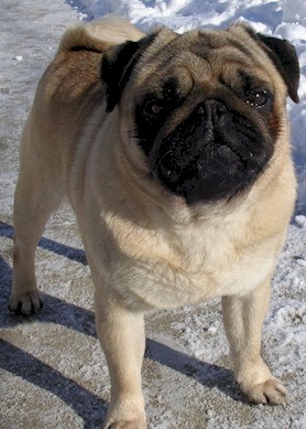 In what year was the first Pug Dog Club of America formed?