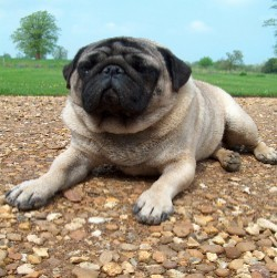 The pug is the only American Kennel Club-recognized breed to have its own Latin motto.