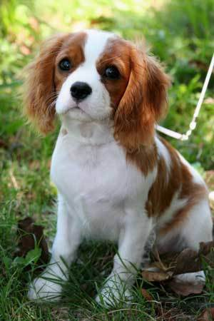 Cavaliers have a tendency to become overweight easily if not exercised and fed properly.