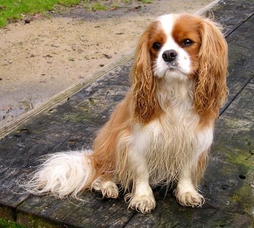 Which of these diseases is common in Cavaliers?