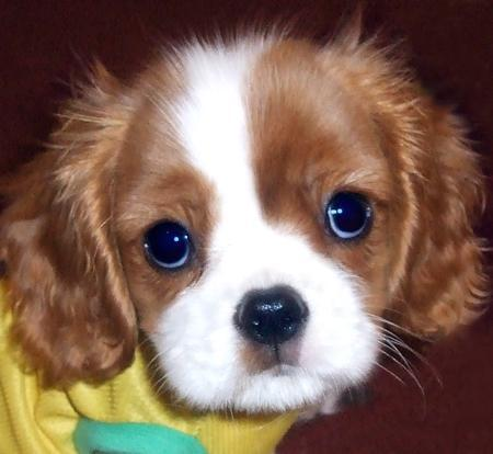 Which of these behavioral problems is most often seen in Cavaliers?