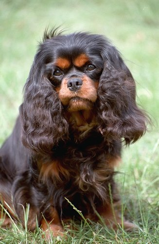 The Cavalier King Charles Spaniel is a member of the Sporting Dog group.