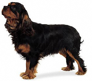 Which American president owned a Cavalier King Charles Spaniel?