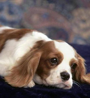 Susie has two children, one is eight years old, and one is ten, they are both gentle natured and well behaved. Are Cavaliers suitable for this age?