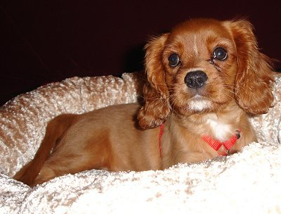 Is the Cavalier King Charles Spaniels different from the King Charles Spaniels because it has a very short snout ?