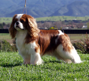 Emma would like a Cavalier to show at Crufts'. She is going to choose a Blenheim coloured dog.Which dog should she go for to win?