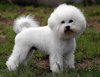 "What does the name ""Bichon Frisé"" mean?"