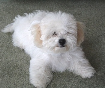 Which description describes the appearance of a Bichon Frisé best?