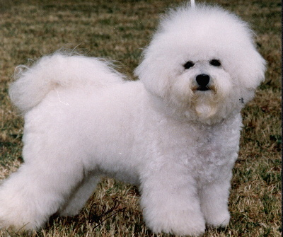 Female Bichon Frisés are slightly easier to house train than males.