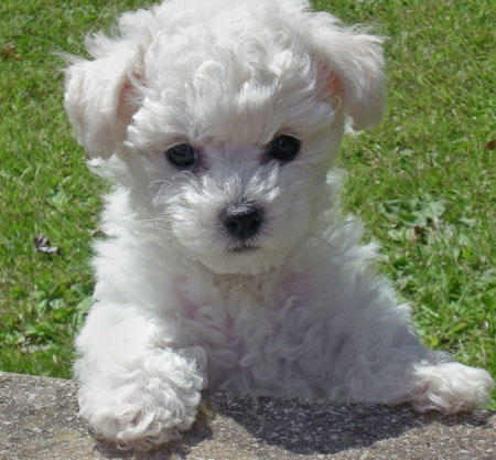 And finally, which of the following is NOT looked for in Bichon Frisé when showing at AKC standard dog shows?
