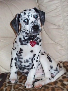 Between 25% and 30% of all Dalmatians have ______.