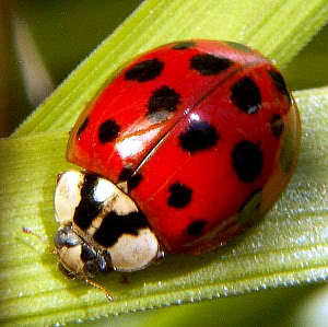 True or false: A lady bug is a species of beetle?