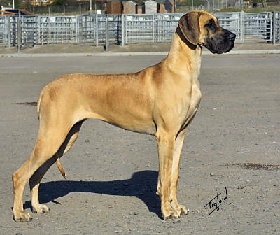 In the US, what common Great Dane coat color is not allowed to be shown in conformation?