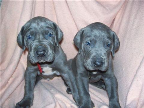 Great Dane puppies should never be fed regular puppy food.