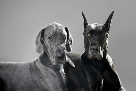 """Since the Great Dane originated in Germany, what is the name for """"Great Dane"""" in German?"""
