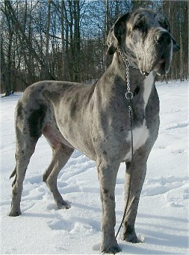 Who gave the breed the name it is known by today (ie: Great Dane)?