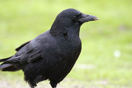 True or false: Crows prefer a wild environment as opposed to a city one?