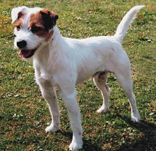 What were Jack Russells originally bred for?
