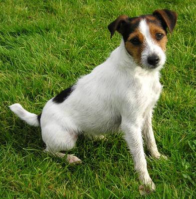 Left unattended, what is a Jack Russell's favourite activity?