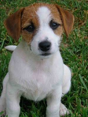 What obedience, show or training activity is the Jack Russell best suited for?