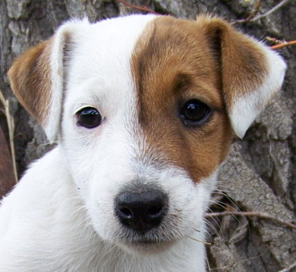 What is usually the best companion for a Jack Russell?