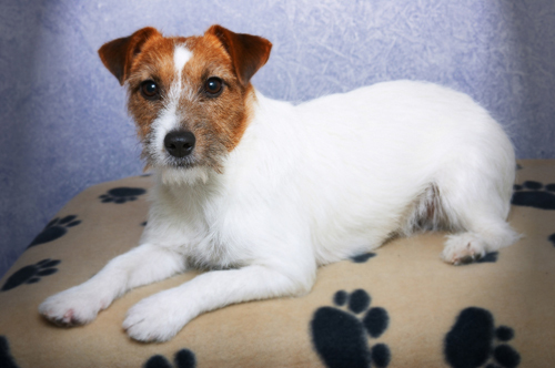What is the Jack Russell's most obvious feature (apart from size)