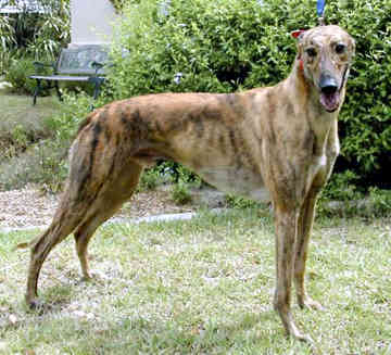 Greyhounds are used as hunting-dogs because of their qualities as scent-hounds.