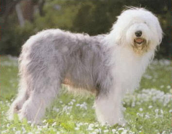 Which Beatles song is actually about an Old English Sheepdog?