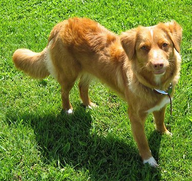 The Nova Scotia duck tolling retriever was actually developed in New Brunswick.