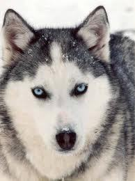 According to the North American Indian myth, Huskies make their 'woo-aroo' sound when they're feeling...?