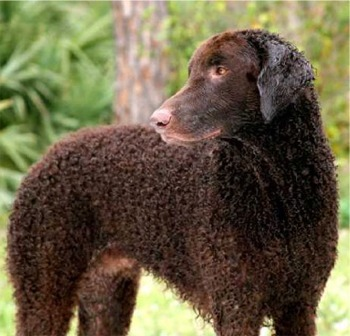 According to the English myth, the minister wanted the Curly-Coated Retriever to empty the pond using a cup.