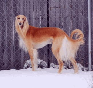 According to the Muslim myth, the Saluki guarded the 7 youths for how many years?