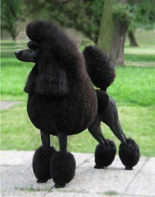 According to the English myth, Prince Rupert's poodle Boye could turn into a...?