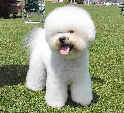 According to the Greek myth, the Bichon Frise got the stomach of the Mackerel with the magic ring in it by...?