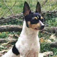 """In montrer competition, a toy renard terrier would be disqualified for having a """"Dudley"""" nose. What is that?"""