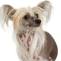A strange contest involving dogs that takes place each سال in Petaluma.A Chinese crested dog won this event seven straight years from 2002-2008,Which contest is it ?