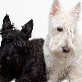 Of the following pairs of Scottish Terriers, which did NOT belong to a president o former president of the US?
