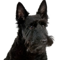 A comic strip featured in over 50 newspapers in the US centers around a Scottie, a cat, and their people. Name that comic