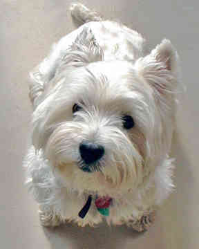 According to the UK breed standard, what height should male Westies be at the withers?