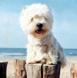 What best describes a Westie's outer coat?
