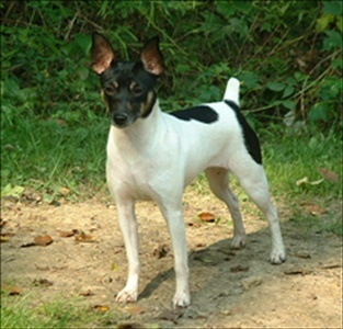 Are Rat Terriers *officially* recognized by the American Kennel Club?